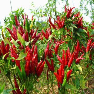 Vegetable seeds Basket of Fire Hot Chili Pepper Seeds garden decoration seeds 100pcs AA