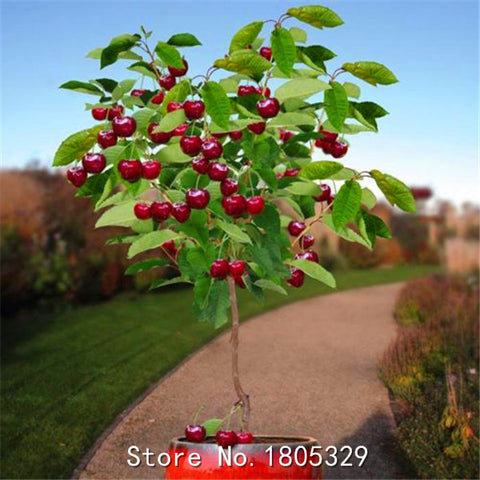 Fruit seeds 10pcs Cherry Seeds Tree Seeds Bonsai Tree Seeds, Home Garden Potted Plant DIY Home Garden decoration