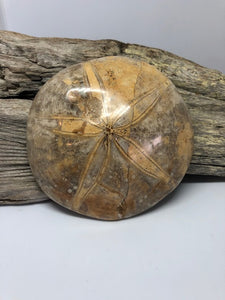 Fossilized Sand Dollar #2