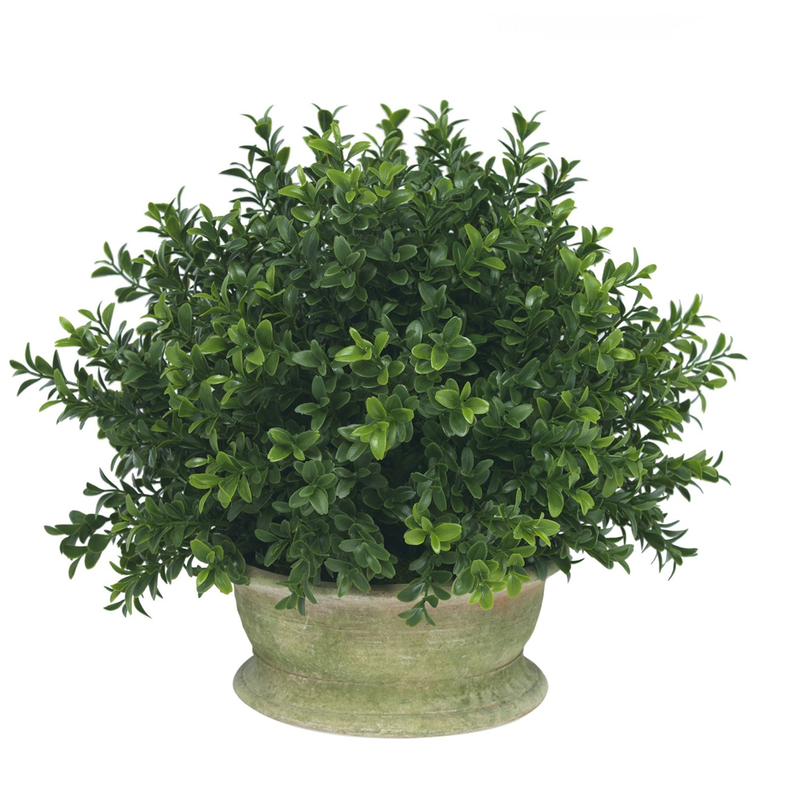Boxwood Bush In Bulb Planter