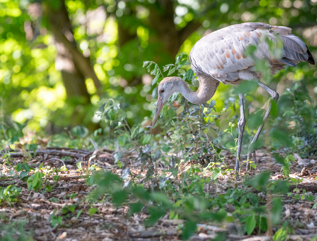 Sandhill Crane Family with Adopted Gosling – Jocelyn