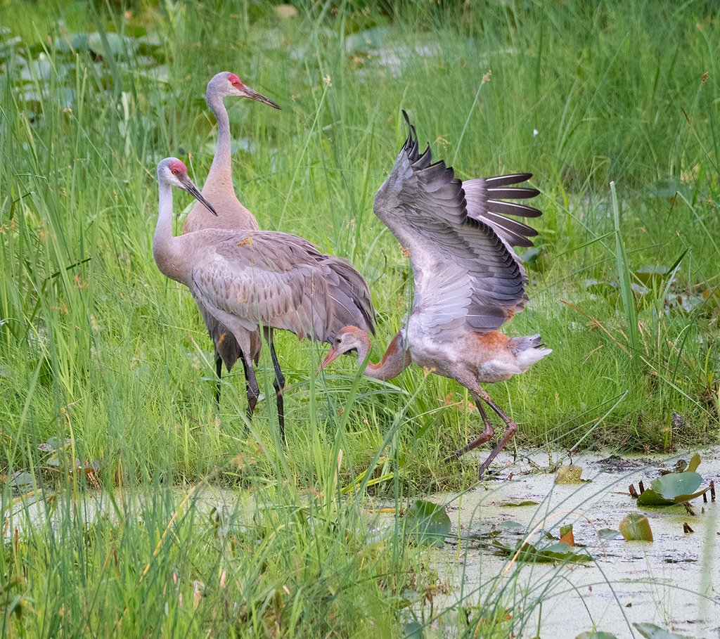 Sandhill Crane Family With Adopted Gosling Jocelyn >> Sandhill Crane Family With Adopted Gosling Jocelyn Anderson