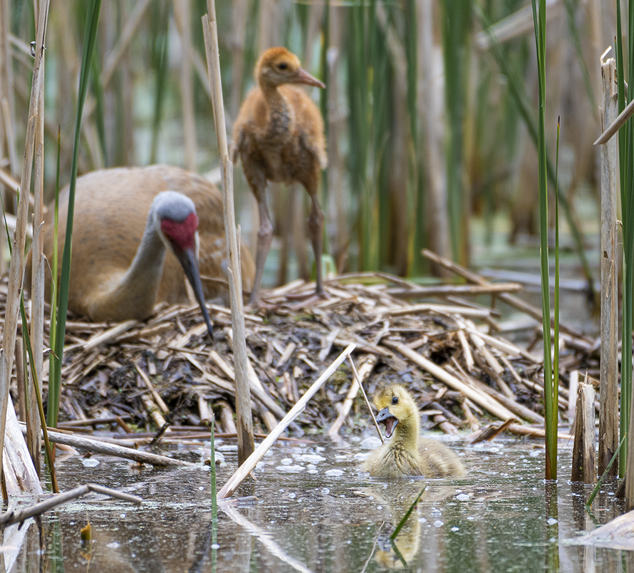 Sandhill Crane Family With Adopted Gosling Jocelyn >> He Can Walk The Walk But Can He Squawk The Squawk Follow This