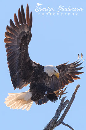 Bald Eagle Landing on Rookery Branch