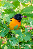 Baltimore Oriole in the Berry Bush