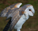 Barn Owl Stretching Wings