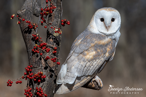 Barn Owl with Red Berries