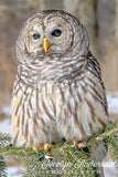Barred Owl on Pine Branch