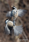 Black-capped Chickadees - Peanut Battle