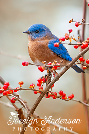 Eastern Bluebird in Winterberry