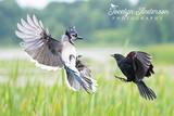 Blue Jay versus Red-winged Blackbird