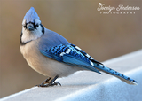 Blue Jay on Icy Bridge