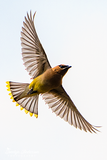 Cedar Waxing Flying