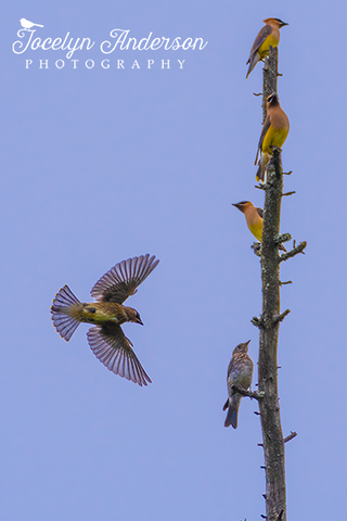 Cedar Waxings in Tree with Bluebird