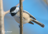 Black-capped Chickadee Against Blue Sky