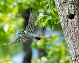 Downy Woodpecker Flying From Nest