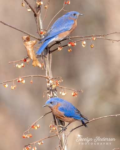 Eastern Bluebirds with Bittersweet