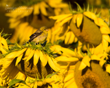 American Goldfinch with Sunflowers