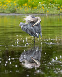 Great Blue Heron and Its Reflection