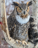 Great Horned Owl in Birch Tree