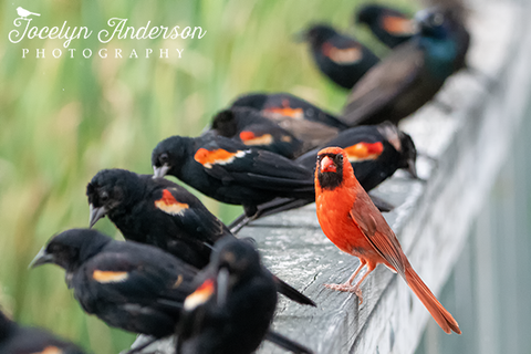 Northern Cardinal with Red-winged Blackbirds