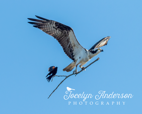 Osprey with Red-winged Blackbird Hitching a Ride