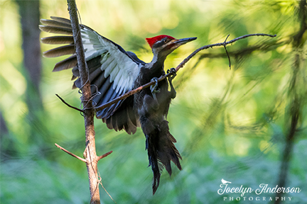 Pileated Woodpecker Landing