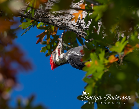 Pileated Woodpecker in Oak Tree