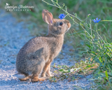 Cottontail Bunny with Chicory
