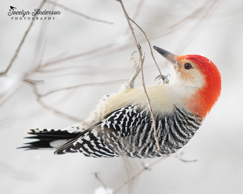 Red-bellied Woodpecker Hanging from Branch