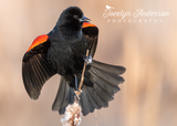 Red-winged Blackbird Perched on Cattail