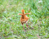Sandhill Crane Colt Stretching His Tiny Wings
