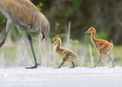 Sandhill Crane Family with Adopted Gosling
