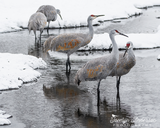 Sandhill Cranes in River