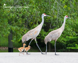 Sandhill Crane Family Crossing Road