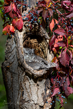 Eastern Screech-Owl with Virginia Creeper