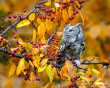 Eastern Screech-Owl in Fall Foliage