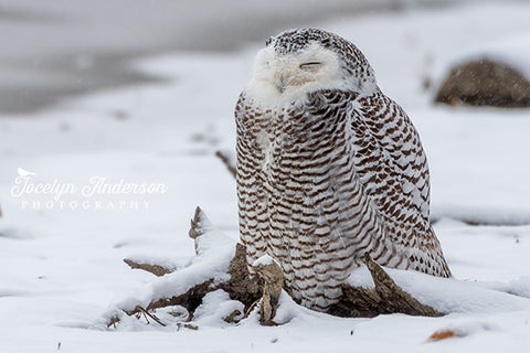 Snowy Owl in the Snow