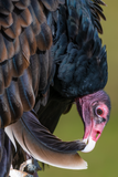 Turkey Vulture Preening