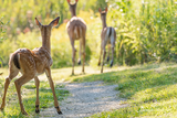 White-tailed Fawn and Family