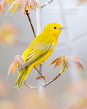 Yellow Warbler on Maple Tree Branch