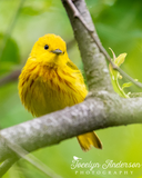 Yellow Warbler on Branch
