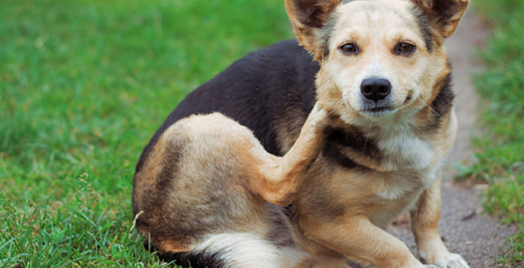 Itchy dry skin on your dog? Why it happens and how to fix it.