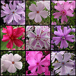 Phlox - All Varieties