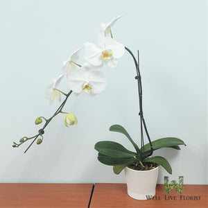 Phalaenopsis Orchid plant in pot