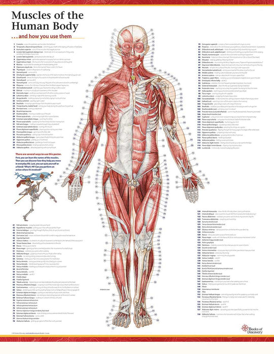 Trail Guide to the Body's Muscles of the Human Body poster – Anterior View - Spa & Bodywork Market