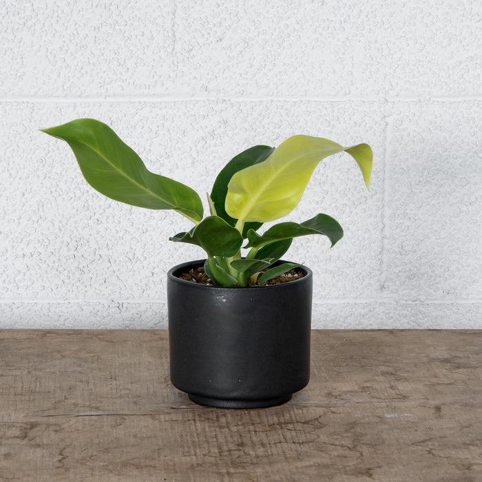 "4"" Philodendron Moonlight in Kiln Room planter"