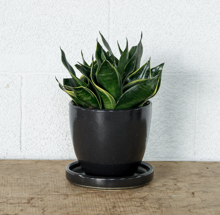 "6"" Sansevieria Black Moon in STUMP Wares planter with drip tray"