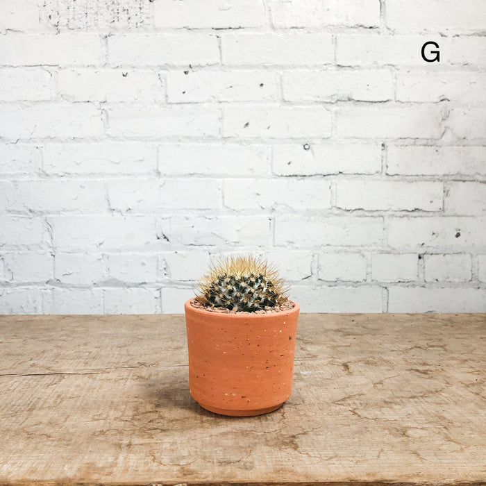 "3"" Cactus in STUMP Terra-cotta planter"