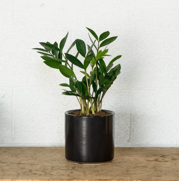 "ZZ Plant 6"" in STUMP Wares planter"